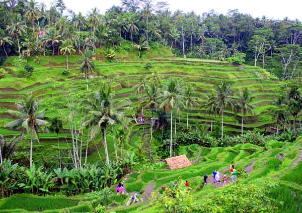 pola ryżowe w bali
