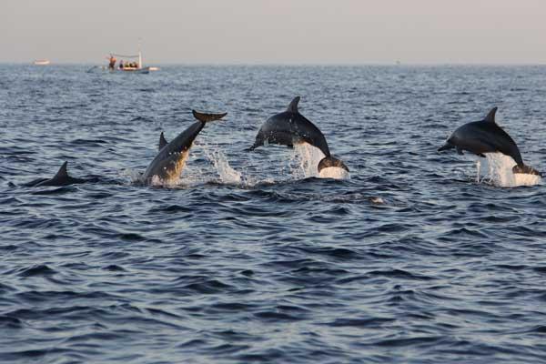 W Lovinie będziemy pływać z delfinami (fot. Fotolia)